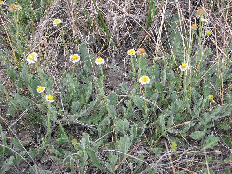 Calotis scabiosifolia
