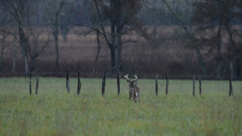 whitetail_bucks_fence_01.mov