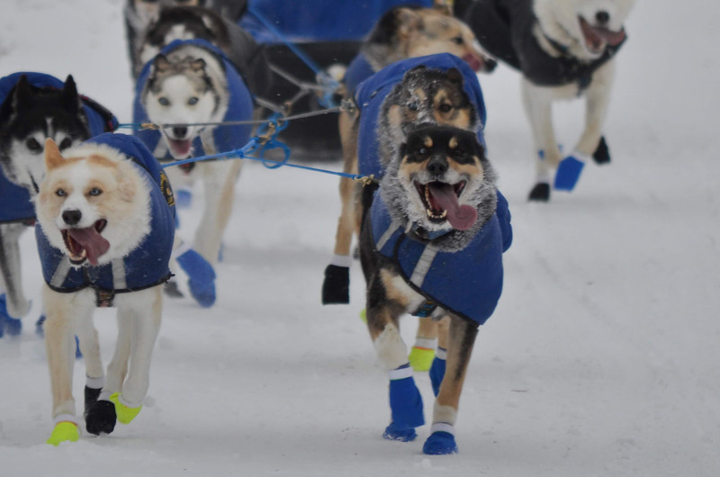 Happy sled dogs
