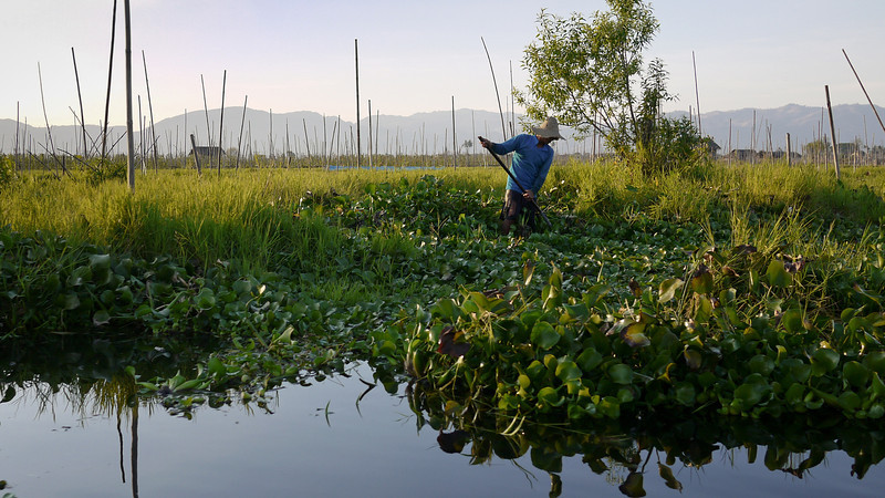 A worker tends to his floating garden on Inle Lake, Burma (Myanmar).