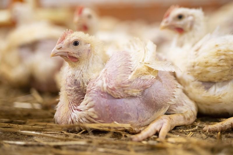 poulets-elevage-pihem-14.jpg