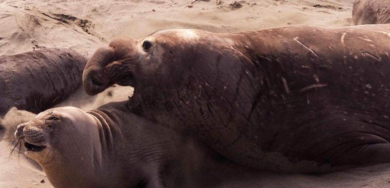 Nookie nookie Elephant Seals, San Simeon