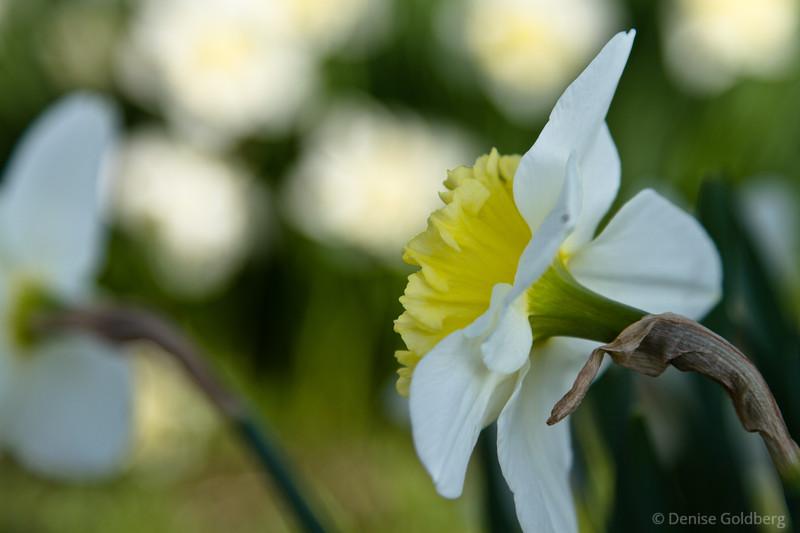 graceful daffodil
