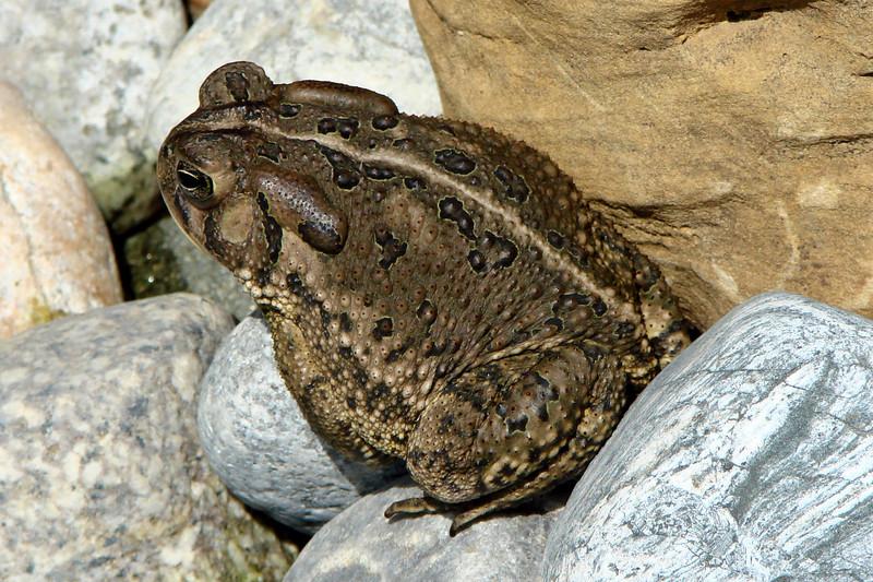 Woodhouse's Toad (Bufo woodhousii).  TX: Tarrant Co. (Duhons' Fort Worth yard), 28 April 2007.
