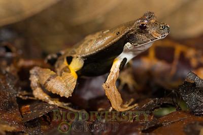Foam Frogs (Leiuperidae)