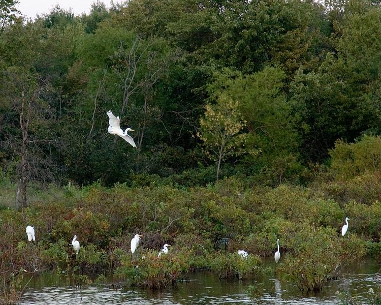 Flying Egret IMG_2700.jpg