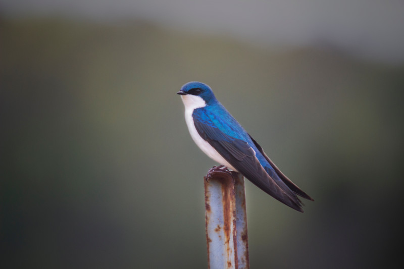 Tree swallow in his summer finery