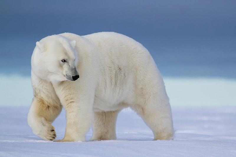 Alaska Polar Bear Photo Workshop.jpg