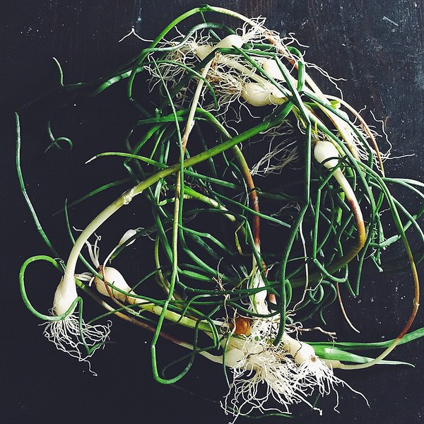 Finally_meeting__bluegrassgrower_today_and_he_has_field_garlic_to_forage_.jpg