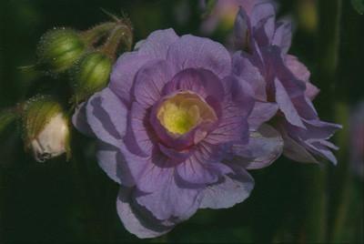 Geranium pratense 'Summerskies'.jpg