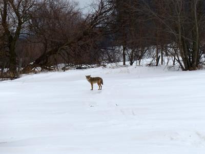 20150306 Coyote