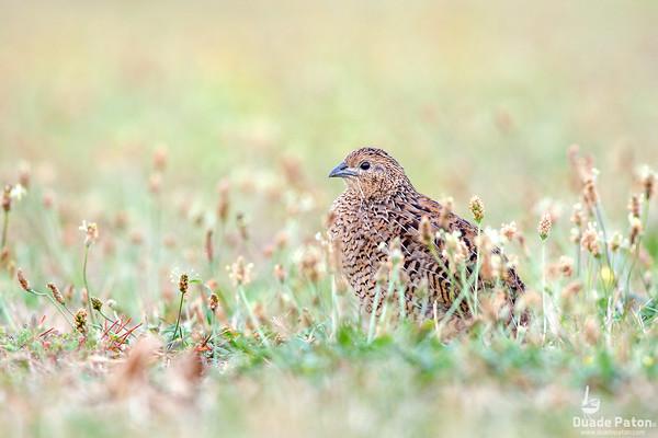 Pheasants and Quail