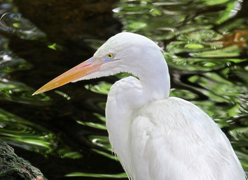 10_28_18 Great White Heron.jpg