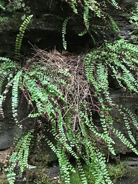 Louisiana Waterthrush nest