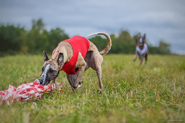2017/09/30 Lure Coursing (Tula)