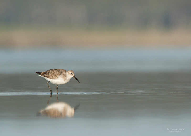 Curlew Sandpiper, Lake Wolumboola, NSW, Aus, Nov 2013.jpg