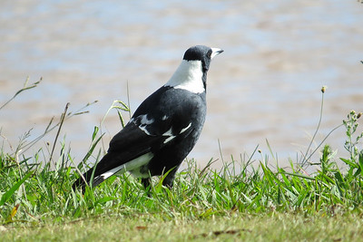 Butcherbirds, Magpie & Currawongs