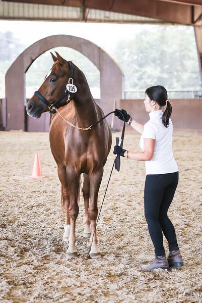 2017 MotherLode Show Morgan Horses