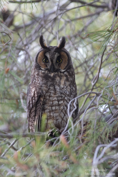 Long-eared Owl - Mercy Hot Springs, CA, USA