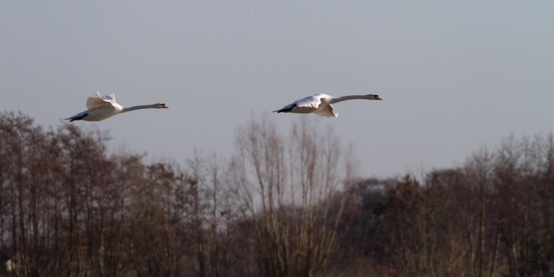 knobbelzwaan, mute swan
