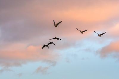 03-05 Sandhill Cranes
