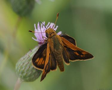 Grass Skippers - Hesperiidae-Hesperiinae