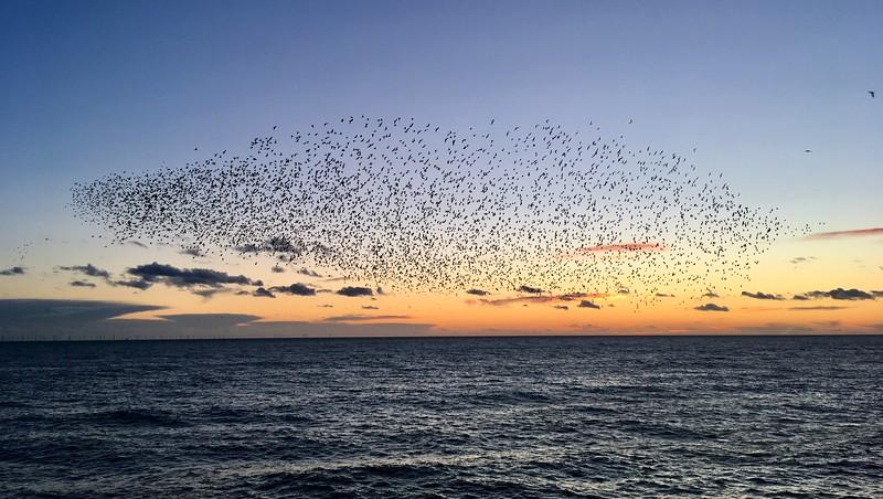 Starlings watching