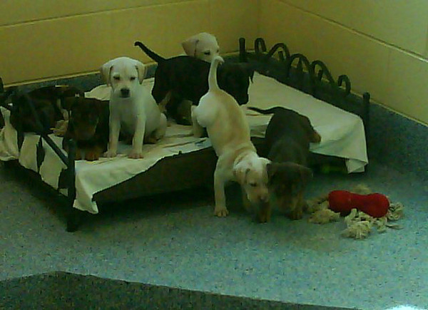 The first residents at the new shelter...a litter of 9 puppies found after about two weeks of volunteer efforts to watch the mom and determine where the puppies were hidden!
