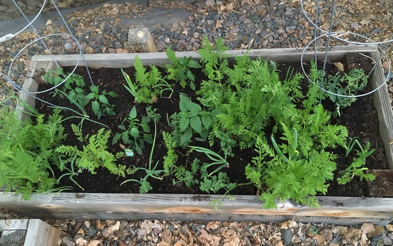 tomato, pepper, carrot and spice raised-bed garden