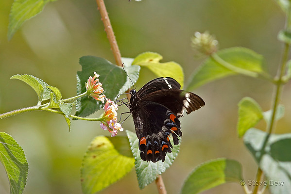Swallowtails and Birdwings - Papilionidae