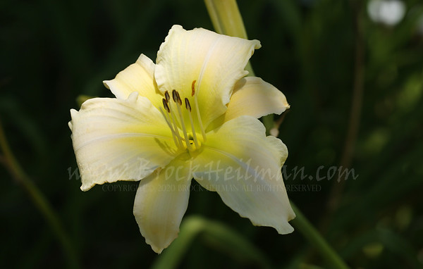 Along the Fence Daylilies 2015