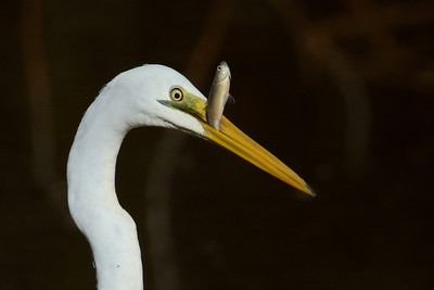 Great Eastern Egret