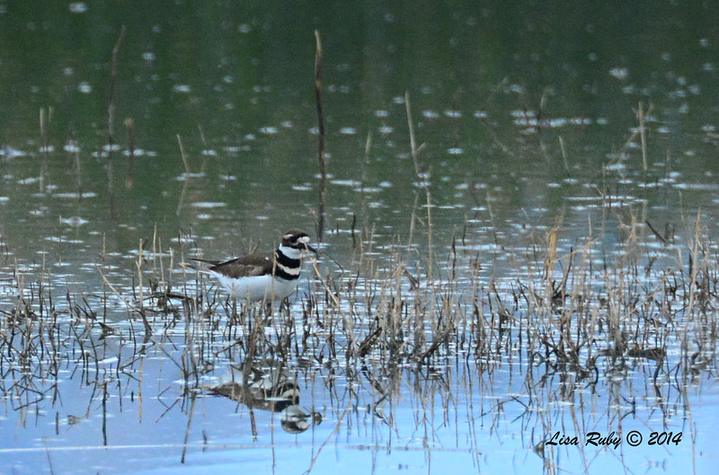 Killdeer - 11/30/2014 - San Jacinto Wildlife Area