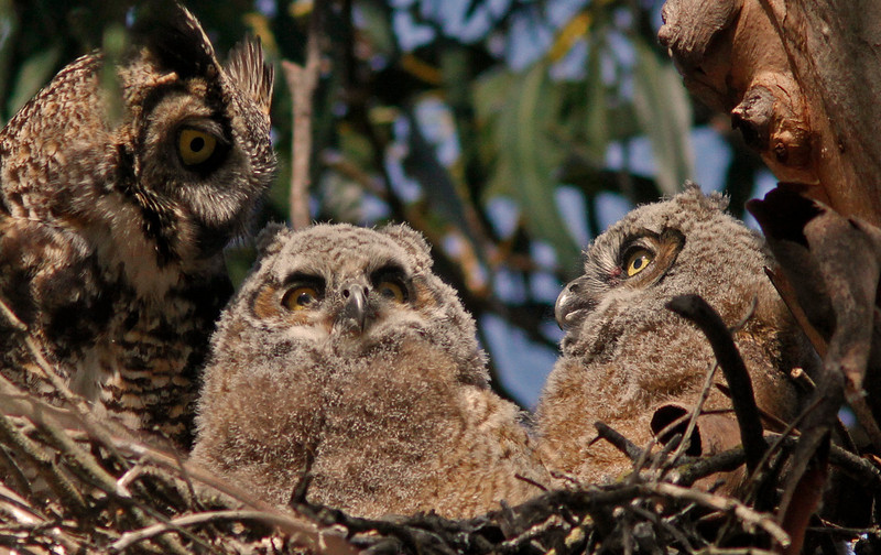 Mom arrives, Great Horned Owl and Chicks