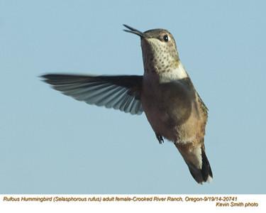 Rufous Hummingbird F20741.jpg