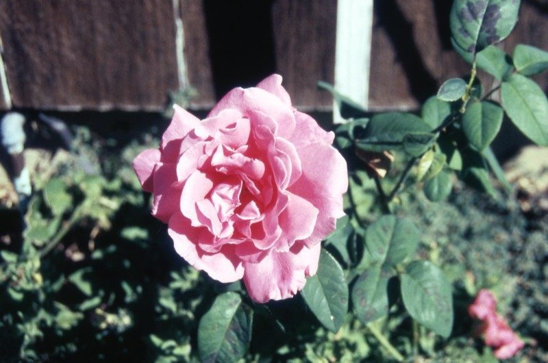 HCA-GII-002-My Rose Sept 17 1990.jpg