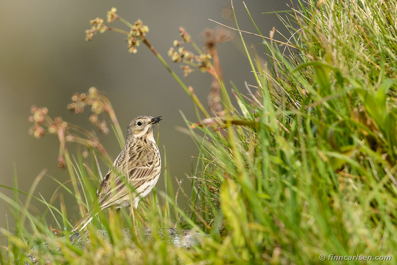 Engpiber (Anthus pratensis - Meadow pipit)