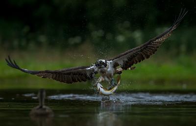 Osprey,s