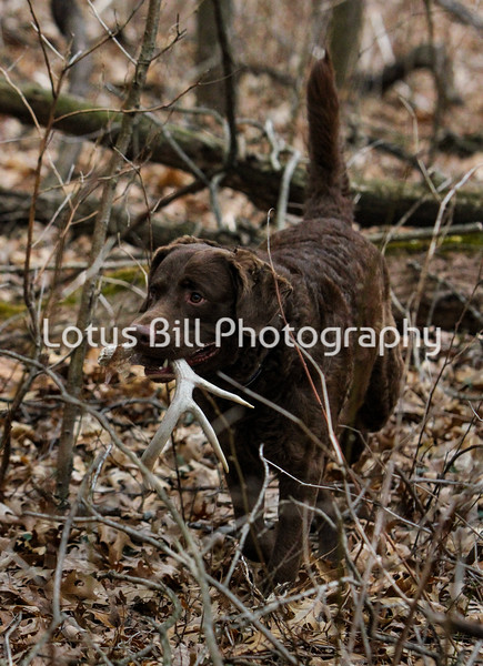 Shed Chesapeake Bay Retriever Sniper March 2019