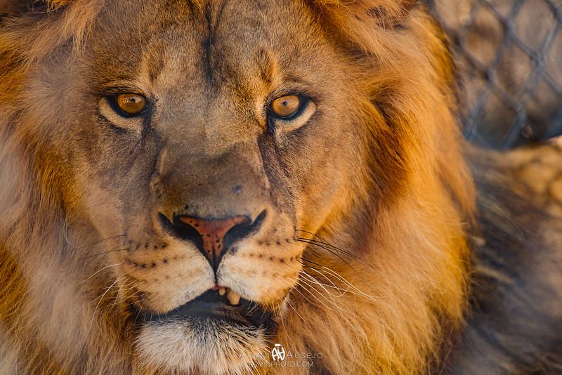 LionHabitatRanch2017-7.jpg