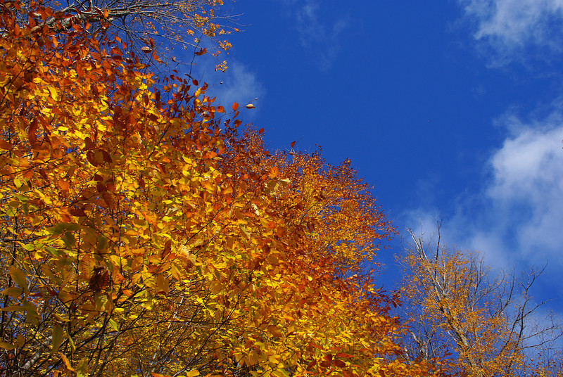 Vibrant autumn foliage ignites a cool blue sky near a trailhead at Parc de la Gatineau near Chelsea, Québec.  Photo taken 11 October 2010.