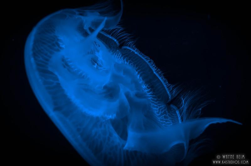 Blue Jellyfish    Photography by Wayne Heim