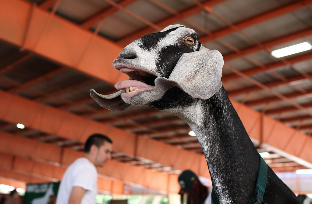 . <p>32. GOATS <p>Doing their part to make Al Qaeda terrorists a little less lonely.    (Justin Sullivan/Getty Images)