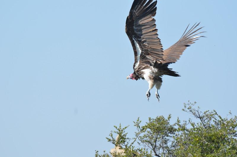 9 - Lapet-faced Vulture - Kalahari - Anne Davis