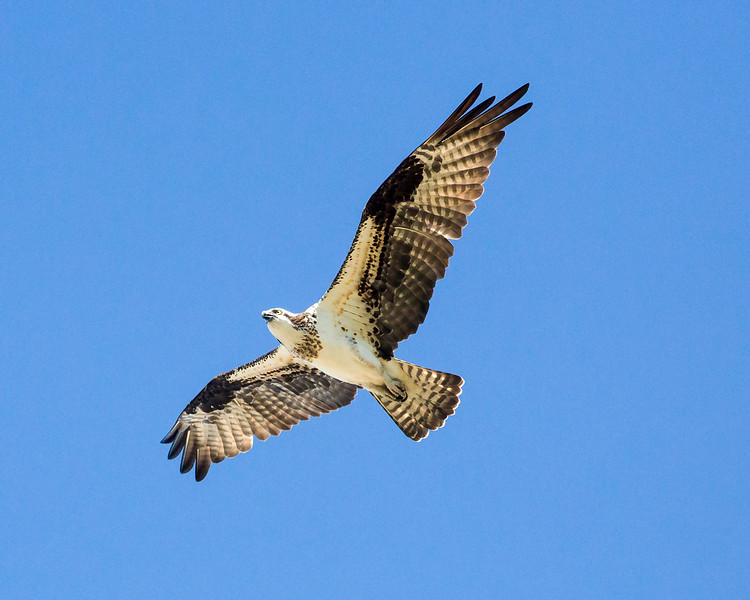 A Red-shouldered Hawk over Galveston Island