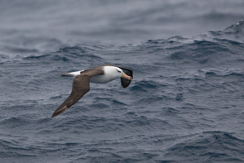 Black-browed Albatross - Drake's Passage, Southern Ocean