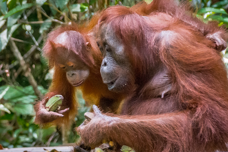 Mother and baby feasting on bananas.
