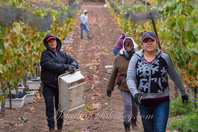 Jarvis Red Grape Harvest 2016