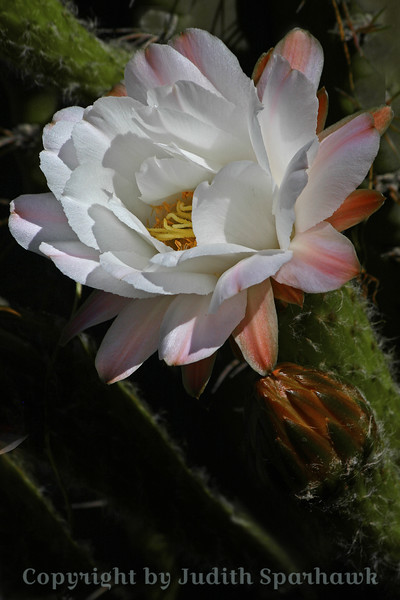 Cactus Bloom in White
