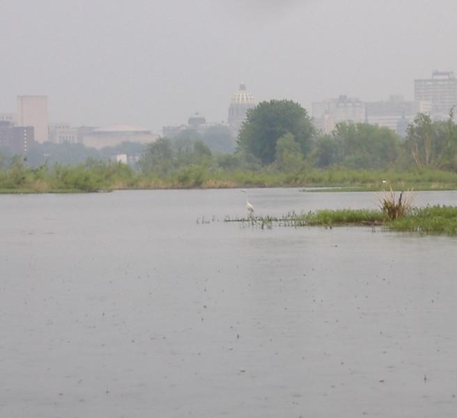 rainy egret.JPG